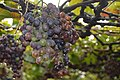 GRAPES Directly from Vineyards.JPG