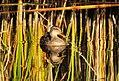Gadwall on Seedskadee National Wildlife Refuge (21808981600).jpg