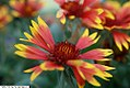 Gaillardia x grandiflora Arizona Sun 1zz.jpg