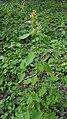 Galeopsis tetrahit (29108654945).jpg