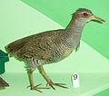 Gallirallus philippensis Museum de Genève.JPG