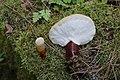Ganoderma lucidum 77028564.jpg