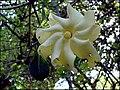 Gardenia volkensii subsp. spatulifolia (4127207957).jpg