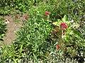 Gardenology-IMG 7895 hunt10aug.jpg