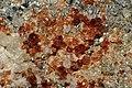 Garnet, actinolite.jpg