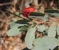 Gastrolobium grandiflorum flower & foliage.jpg