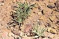 Geigeria acaulis-1529 - Flickr - Ragnhild & Neil Crawford.jpg