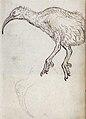 Gelderland1601-1603 Aphanapteryx bonasia.jpg