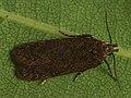 Gelechiidae sp. (39583990280).jpg