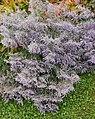 Geneva Botanical Garden - limonium latifolium.jpg