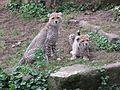 Gepard Nachwuchs im Zoo Landau - panoramio (1).jpg