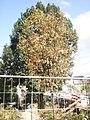Geschwächter Jungbaum und grüner älterer Baum bei Trockenheit im August 2018, Bauzaun an Weidenhäuser Brücke Marburg, 2018-08-14.jpg