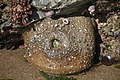Giant Green Anemone (2514808800).jpg