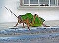 Giant grashopper.JPG