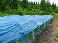 Ginseng Plantation 人蔘田 - panoramio.jpg