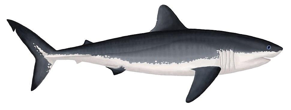 Ginsu shark (Cretoxyrhina mantellii)