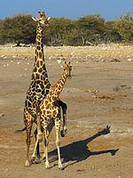 Giraffa camelopardalis angolensis (mating)1.jpg