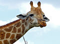 Giraffe (Giraffa camelopardalis) frown (11530010275).jpg
