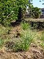 Glendale, AZ Avena fatua, Wild Oats, 2013 - panoramio (1).jpg