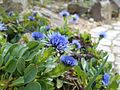 Globularia trichosantha 2017-04-17 7562.jpg