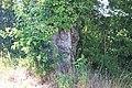 Gnarly old Oak Tree - geograph.org.uk - 1272230.jpg