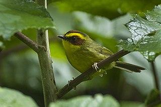 Golden-browed warbler species of bird