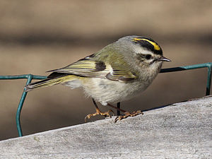 Golden-crowned kinglet - In North Carolina
