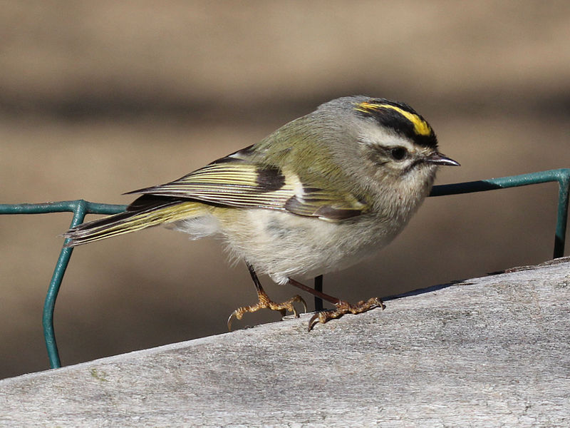 File:Golden-crowned Kinglet RWD.jpg