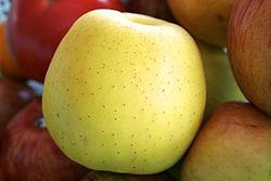 تصویر  سیب زرد - ویکیپدیا، دانشنامهٔ آزاد