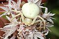Goldenrod Crab Spider - Misumena vatia, Packer Lake, California.jpg