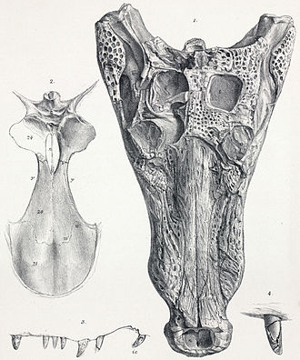 Goniopholis - G. simus skull from Middle Purbeck Group