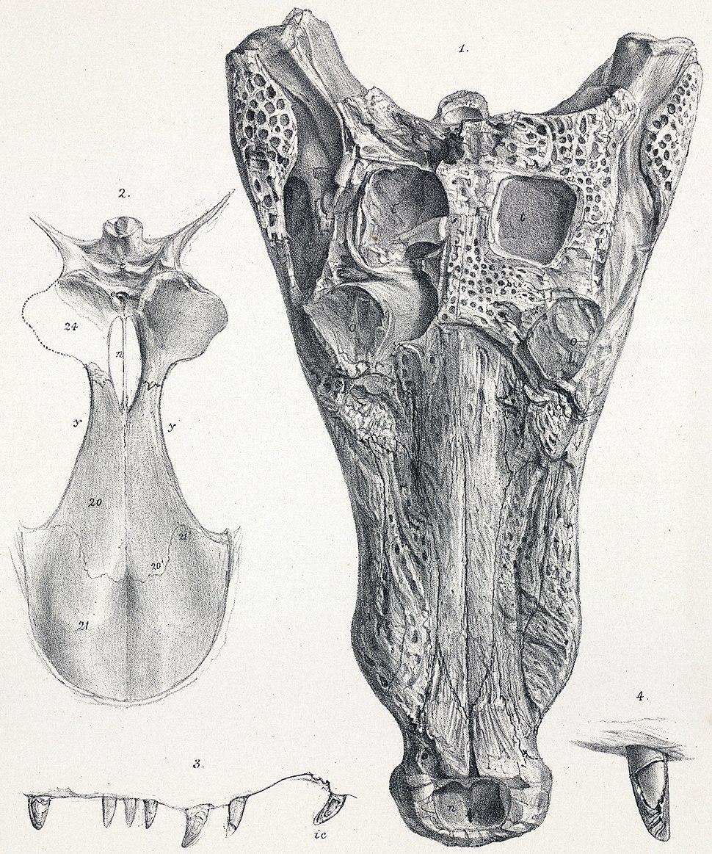 Goniopholis simus skull