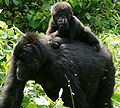 Gorillas in Uganda-3, by Fiver Löcker.jpg