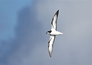 Gould's petrel - Image: Gould's Petrel off Southport Qld 15April 2012