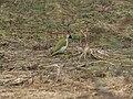 Grünspecht Picus viridis Männchen-002.jpg