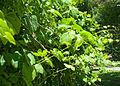 Grapevines green.jpg