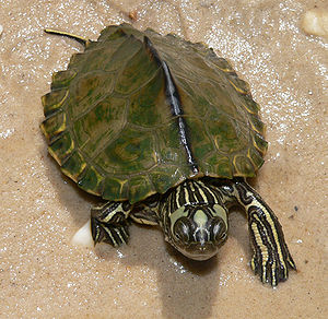 Escambia map turtle - Image: Graptemys ernsti 18Jun 09 Escambia River 2z