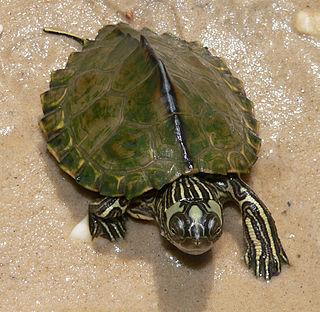 Escambia map turtle