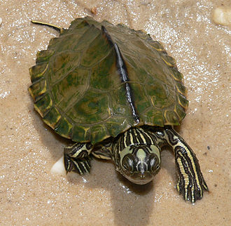 Escambia map turtle - Graptemys ernsti