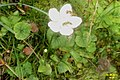 Grass of Parnassus and guests (Eib) (31596536162).jpg
