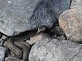 Grass snake (Natrix Natrix).jpg