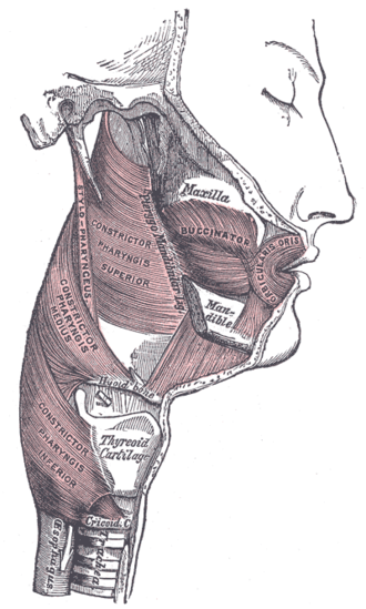 Pharyngeal muscles - Muscles of the pharynx and cheek
