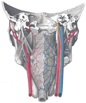 Inferior pharyngeal constrictor muscle - Muscles of the pharynx, viewed from behind, together with the associated vessels and nerves. (Inf. const. labeled at bottom center.)