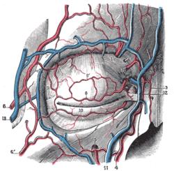Dorsal nasal artery - ...