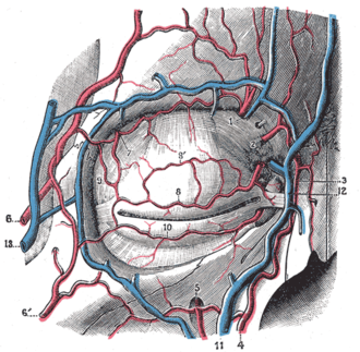 Superficial temporal vein - Bloodvessels of the eyelids, front view. (13, at left, is branch of the superficial temporal vein.)