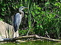 Great Blue Heron (7548118646).jpg