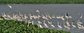 Great Egrets (Casmerodius albus) (Br & Nbr) with Grey Herons (Ardea cinerea) - Resting at Kolkata I IMG 6161.jpg