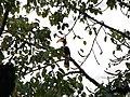 Great Hornbill IMG 5504 03.jpg