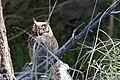 Great Horned Owl San Pedro House Sierra Vista AZ 2017-05-19 07-01-29 (34630696541).jpg