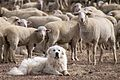 Great Pyrenees Sheep Dog Guarding the Flock (5113678413).jpg